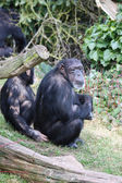 Black chimpanzees — Stock Photo