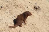Mongoose sitting in sand — Stok fotoğraf