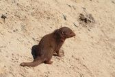 Mongoose sitting in sand — Foto Stock