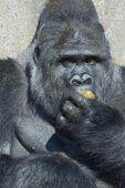 Silverback gorilla — Stock Photo