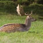 Fallow Deer — Stock Photo #52473211