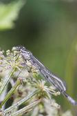 Damselfly resting on a flower stem — Foto de Stock