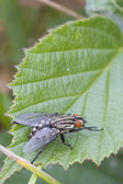 Flesh Fly (Sarcophaga bercaea) — Stock Photo