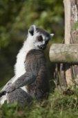 Lémur de cola anillada — Foto de Stock