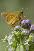 Small Skipper — Stock Photo