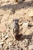 Meerkat stojący na kamień — Zdjęcie stockowe