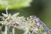 Damselfly on a flower stem — Foto de Stock