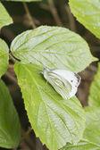 Small White Butterfly  (Pieris rapae) — Stock Photo