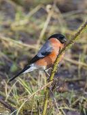 Bullfinch on branch — Stock Photo