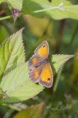Gatekeeper Butterfly — Foto de Stock