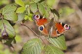 孔雀蝴蝶 (inachis io) — 图库照片