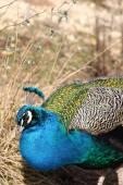Blå påfågel — Stockfoto