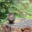 Blackbird Juvenile — Stock Photo #53265309