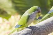 Monk Parakeet — Stock Photo