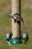 Tree Sparrows (Passer montanus) — Stock Photo