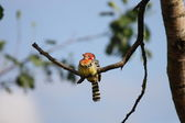 Red and Yellow Barbet — Stockfoto