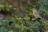 Greenfinch preched  on branch — 图库照片