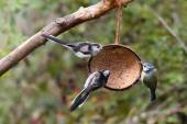 Blue Tit and Long Tailed Tits — Stock Photo