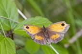 Gatekeeper Butterfly — Stock Photo