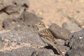 Sparrow  from Fuerteventura — Stock Photo