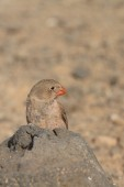 Trumpeter Finch — Stock Photo