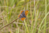 Copper butterfly — Stock Photo