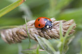 Ladybird Looking for food on a plant — Foto de Stock