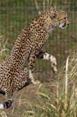 Cheetah resting — Stock Photo