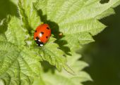 Ladybird climbing on leaf — Foto de Stock