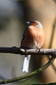 Chaffinch  (Fringilla coelebs) — Stock Photo