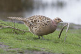 Pheasant looking for food — Stock Photo