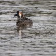 Great crested grebe (Podiceps cristatus) — Stock Photo #53392877
