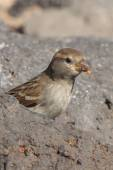 Sparrow  from Fuerteventura — Stock Photo