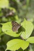 Speckled wood butterfly — Stock Photo