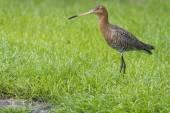 Black tailed godwit — Stock Photo