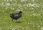 Moorhen running on grass — Zdjęcie stockowe