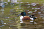 Shoveler  (Anas clypeata) — Stock Photo
