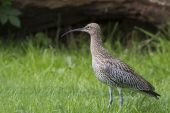 Curlew standing on grass — Stock Photo