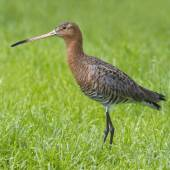Black tailed godwit — Stock Photo