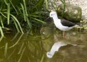 Black-winged stilt — Stockfoto