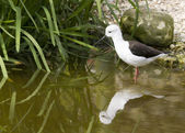 Black-winged stilt — Foto Stock