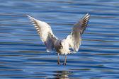 Black-headed gull landing on the water — Foto de Stock