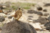 Kestrel (Falco tinnunculus) — Stock Photo