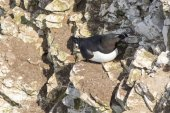 Razorbill stands at cliffs — Stock Photo