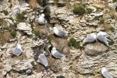 Kittiwake birds on cliffs — Stock Photo