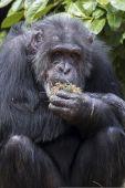 Chimpanzee holds grass. — Stock Photo