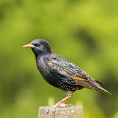Common Starling - Sturnus vulgaris — Stock Photo