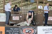 Sheep shearing competition — Stock Photo