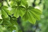 Leaves of chestnut tree — Stock Photo