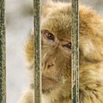 Monkey in captivity — Stock Photo #59985879